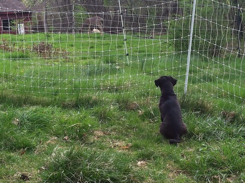 Norman Watches the Deer