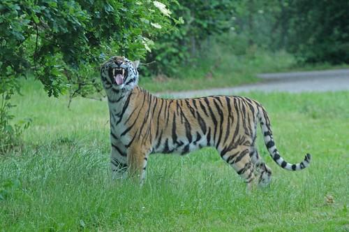 Sibirischer Tiger im Knuthenborg Safaripark