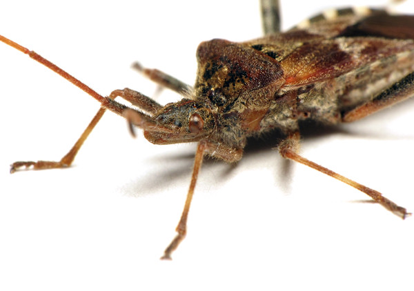 Western Conifer Seed Bug, Leptoglossus occidentalis