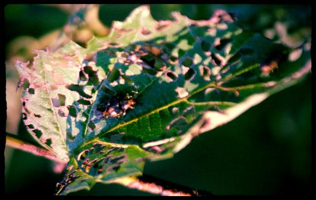 Beetle Chews