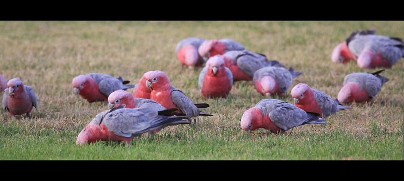 Pink & Grey Galah's Kalbarri W.A