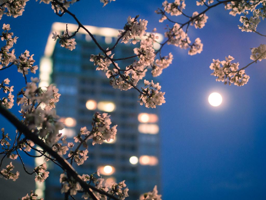 Sakura in your city