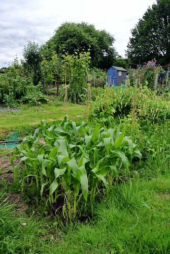 Sweetcorn - 15th July - Day 46