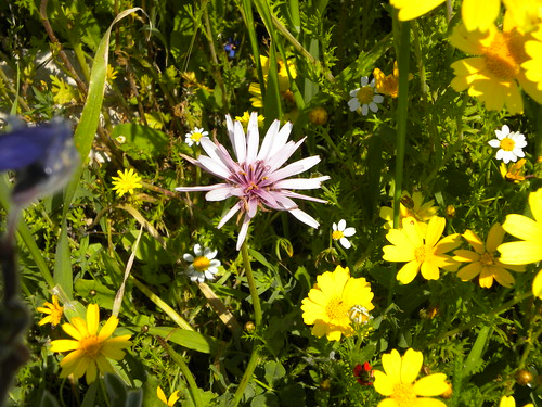 Beautiful Pink Wildflower Among Yellow Daisies And Chamomile - Beit Shemesh israel