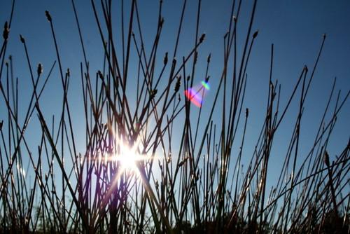 Drought Grass