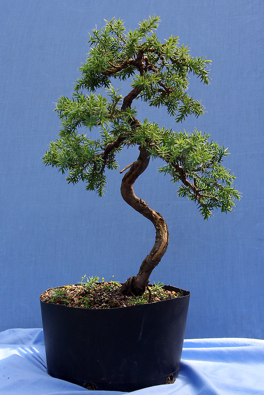 Juniper Thinned Out