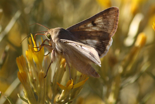 Corn Earworm Moth (Helicoverpa zea)?