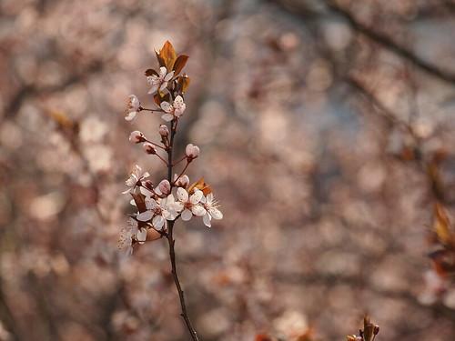 Baumblüte 5