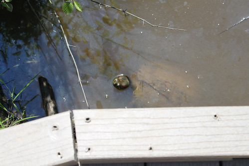 Huntley Meadows Park - Turtle Head