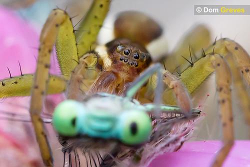Raft spider eating damselfly
