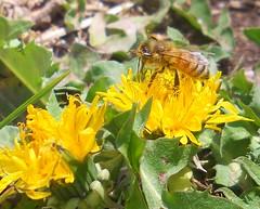 Dandelion Loves Bee