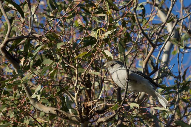 Grey Shrike-thrush 2012-04-02 (_MG_5579)