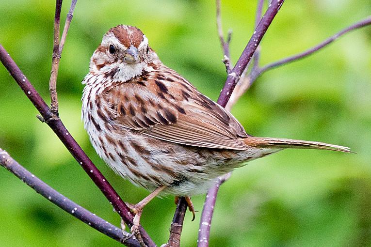 _DSC0593 Song Sparrow