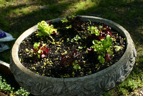 Salad greens in a royal-looking planter