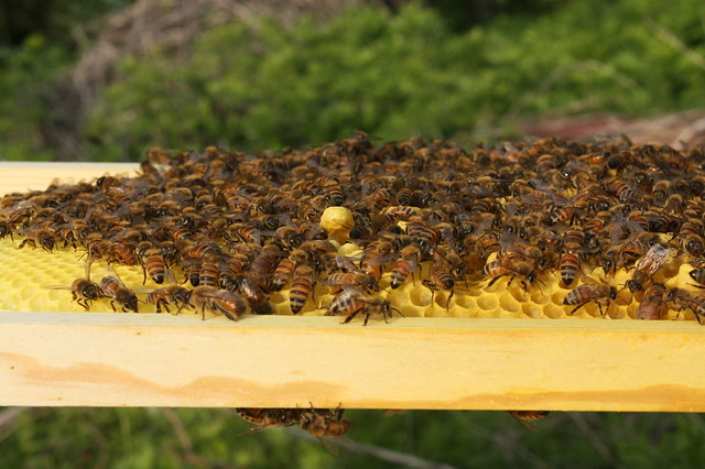Lots of buzzing bees! We can tell from this and vacated cells that since getting them many new bees have been born!
