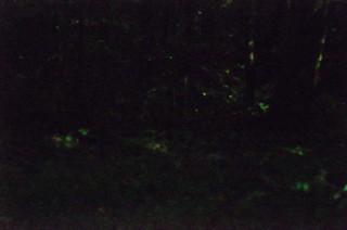 Blue Ghost Fireflies-008