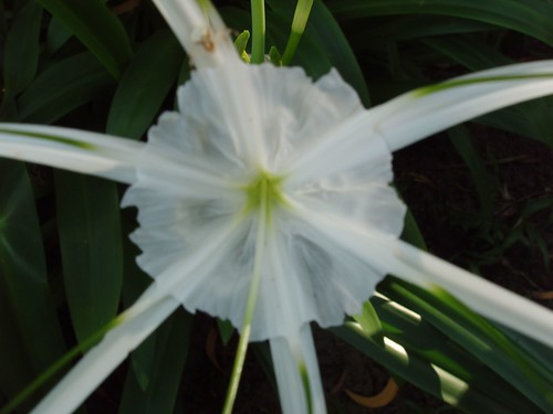 201202140263_spider-lily