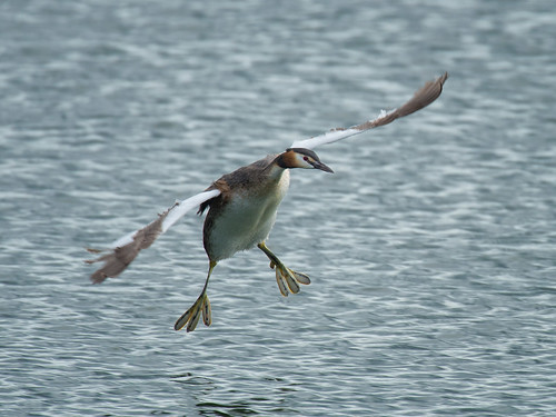 Great-crested grebe landing
