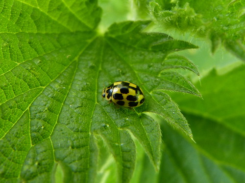 Propylea 14-punctata (14-spot Ladybird) Tophill Low NR, East Yorkshire May 2013