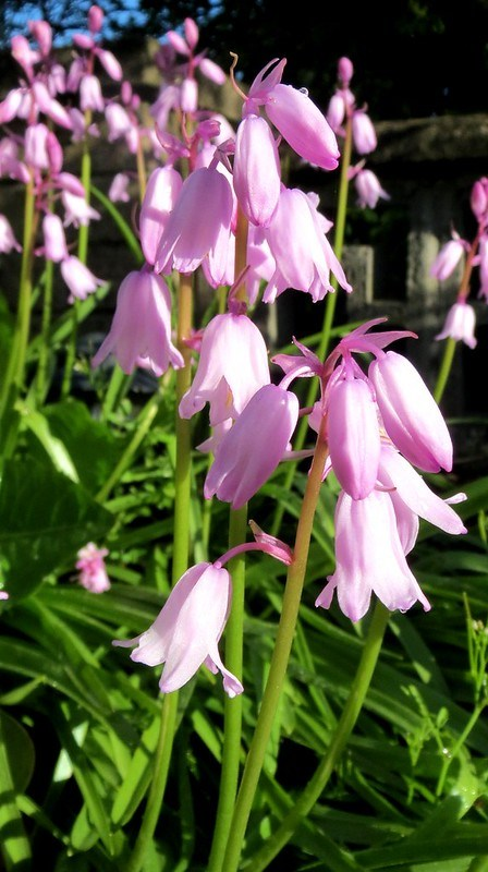 Pink bluebells at home
