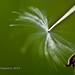 Dandelion Propeller