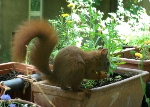 Eichhörnchen mit Keks 3