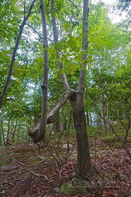 bizarre tree 0001 Harriman State Park, NY, USA
