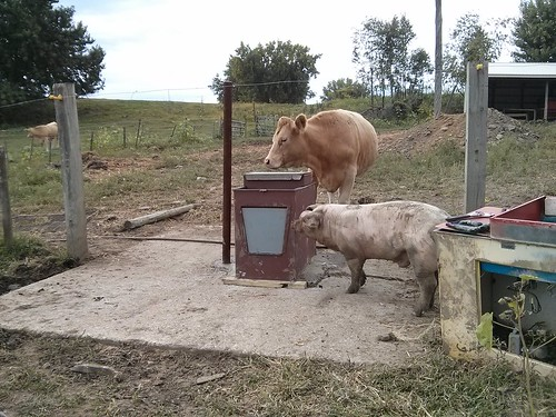 pig and cow check out waterer