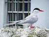 Arctic Tern close-up (7)