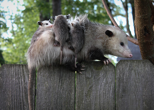Backyard Opossum with Babies
