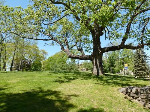 Massive oak