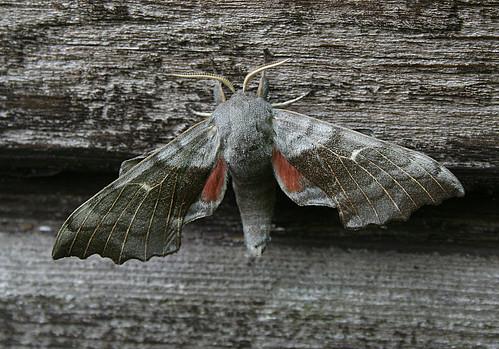 Poplar Hawk-moth Laothoe populi Tophill Low NR, East Yorkshire May 2013