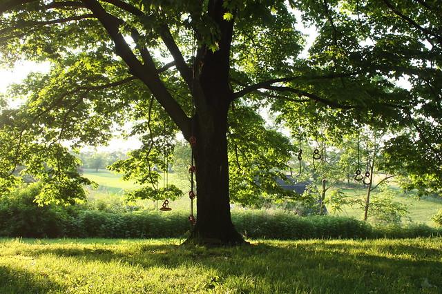 Our beloved tree in golden light