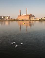 Battersea swans