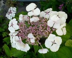 Weiße Hortensie 2