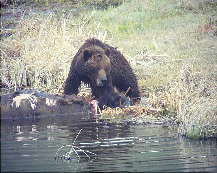 Grizzly Bear Gorging upon a carcass