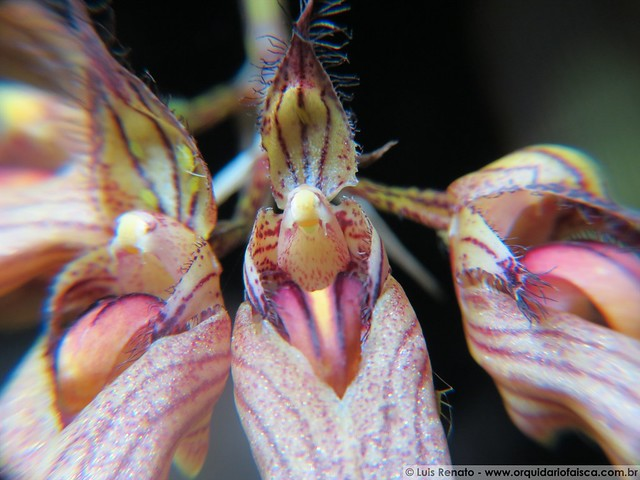 1216 - Bulbophyllum louis sander