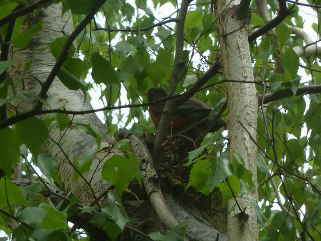 Robin on its nest