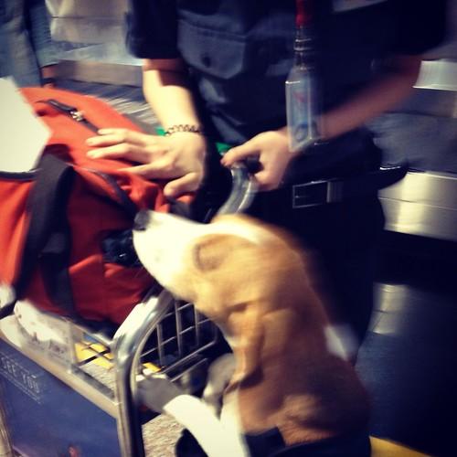 Sniffer beagle at Taiwan Taoyuan International Airport