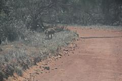 crossing kangaroo