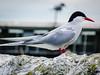 Arctic Tern close-up (6)