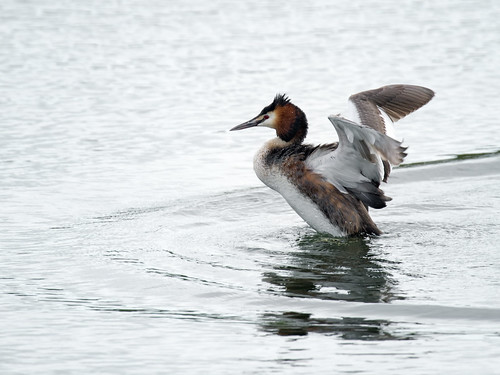 Great-crested grebe rising