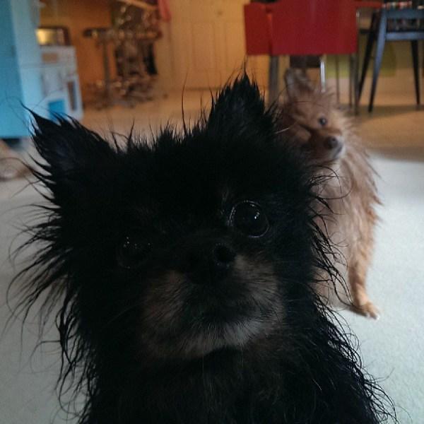 Wash day #pomeranians #poms #pomsofinstagram #wetdogsofinstagram #whydoesitsmelllikewetdog