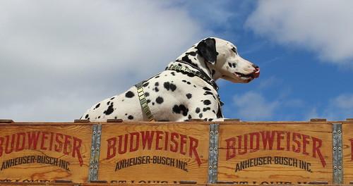 Budweiser Merrimack NH Dalmatian by Christopher OKeefe