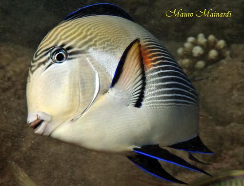Z0025B Surgeonfish attack