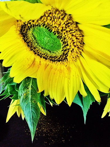 Sunflower dropping pollen on the table