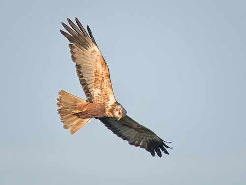 Marsh Harrier (male) evening light