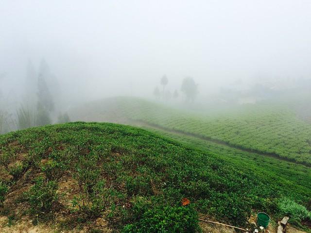 Ежедневные купания чайных кустов в тумане