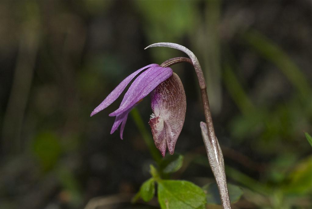 Fairy Slipper, Calypso Orchid
