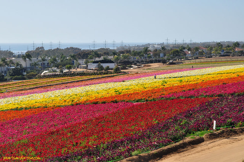 flower_fields_diagonal_web